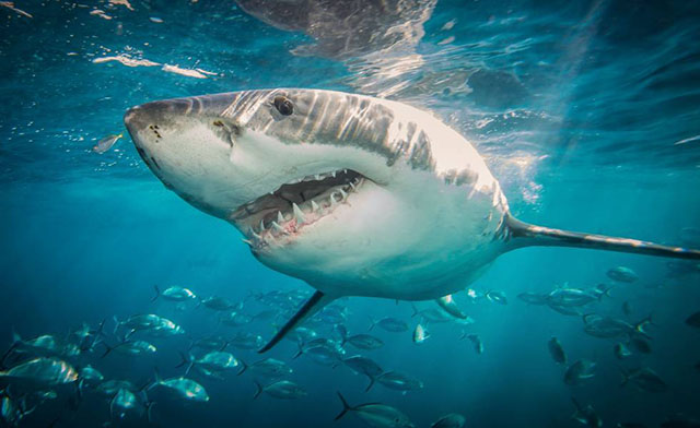 Soñar con un tiburón