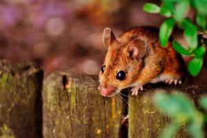 Lee más sobre el artículo Soñar con ratones