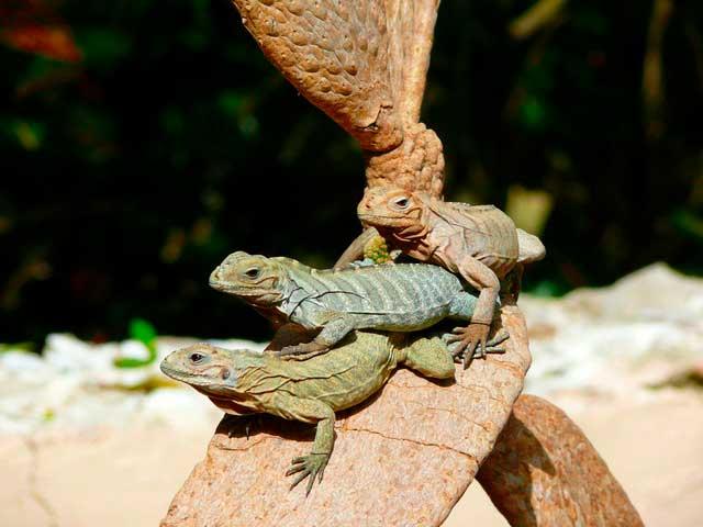 Soñar con muchas iguanas