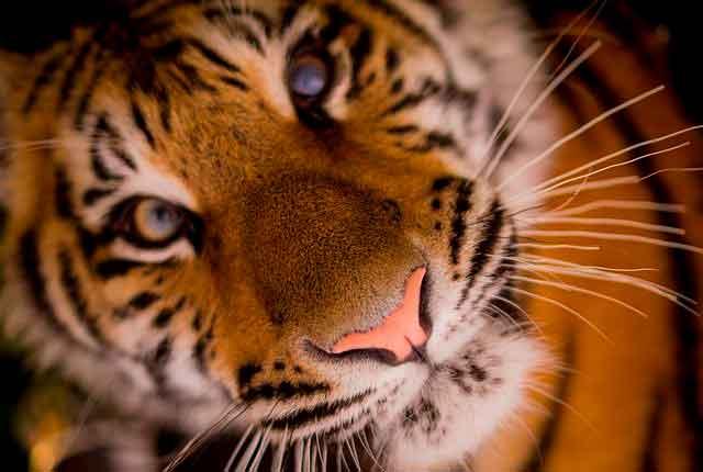 Lee más sobre el artículo Soñar con tigres