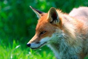 Soñar con un zorro